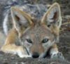giraffesanctuary: a close up of a jackal face. The jackal is lying in the dirt.ying (jackal face)