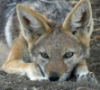 piemancer: a close up of a jackal face. The jackal is lying in the dirt. (jackal face)