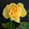 topaz_eyes: yellow rose (Roberta Bondar rose)