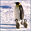 pensnest: Penguin with two tiny chicks (Penguins on parade)