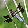 shimmerhawk: (whitetail dragonfly icon)