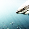 ext_115: great white shark looking over several small fish with an intelligently hungry gleam in its eye (Default)