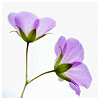 sofiaviolet: two purple flowers on a single stem (two little flowers)