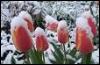 caseylane: Tulips breaking through the snow (Michigan Spring)