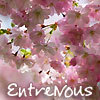 "ext_6368: cherry blossoms on a tree -- with my fandom name ""EntreNous"" on it (txtls: city walking)"