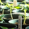 bluemeridian: Tomato Seedlings  (NF :: Seedlings)