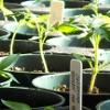 bluemeridian: Tomato Seedlings  (NF :: Seedlings)