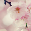 chatananas: cherry blossoms (PINK: Cherry blossoms)