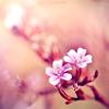 isana: (pink flowers)