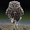 marcicat: (owl forward march)