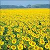 jaebility: (nature // sunflowers)