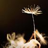 ilwen: (dandelion)