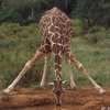 piemancer: A front-perspective photograph of a giraffe splaying its legs and lowering its head to drink from a pool of water. (Thirsty Giraffe)