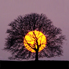 cloudsinvenice: Tree silhouetted against a twilight sky, with full moon behind it (Twilight tree/moon)