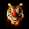 foundparadise: (tiger)
