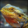 bearded_dragons: (bearded dragon)