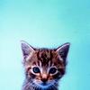 simone_jester: kitten, light blue background ([ animal ] kitten)