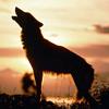 caddies: (wolves)