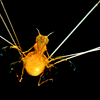 benthic: Munnopsis (longlegs)