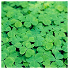 theia: (shamrock)
