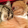 arduinna: a grey kitten's head snuggled into an orange kitten's shoulder as they both snooze (kitten cuddles)
