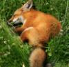 sarahmgoad: (fox)
