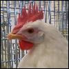 azurelunatic: White Leghorn hen (bust photo) relaxed neck and straight face.  (ButtMeringue)