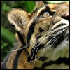 feralkiss: Clouded leopard close-up, looking up with perky ears. (cl_lookup)