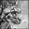 feralkiss: Profile view of a clouded leopard head, intense look. (cl_bw)