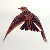clockwork_wings: a lark flying through the air, seen from behind, it's wings down mid-flap (lark)