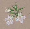 erin_c_1978: Botanical Art: A sprig of white lobelia, drawn by me (Default)