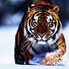 tiger_eyes: (across the world for you)