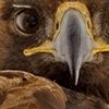 eryr: extreme closeup of a golden eagle's beak and eye (Default)