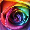 ar: Closeup of a rose whose petals are all different colours. (misc - rainbow rose)