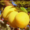 pensnest: yellow plums (plums number two)
