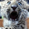 tornir: A leopard cub looking extremely shocked, or horrified. (Horror)