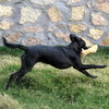 serenissima: dog bounding with squeak toy in his mouth (Mungo bounding)