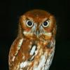 serenissima: Eastern screech owl (observer)