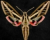 serenissima: banded sphinx moth (beauty/nature)
