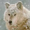 argos: (snowy argos)