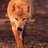 professorwolf: (wolf-stalk)