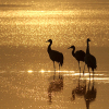 ext_9571: Three sand cranes at sunset. (Default)