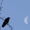 sporky_rat: A black bird on blue sky looking at a half moon (just total wack)