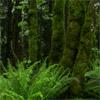 keshwyn: Green ferns and moss on trees. (edgewalker)