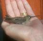 serenissima: hummingbird resting in my hand (trust)