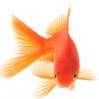 aughoti: goldfish on white background (goldfish)