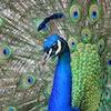tis_mark: (peacock)
