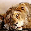 lunchee: Picture of sleepy lion. (lion is sleepy)