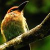 queenlua: An adorable puffy little bird. (Broad-Billed Motmot)