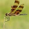 centuryplant: A Halloween Pennant dragonfly (Default)